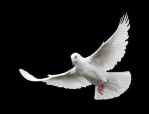 dove_in_flight
